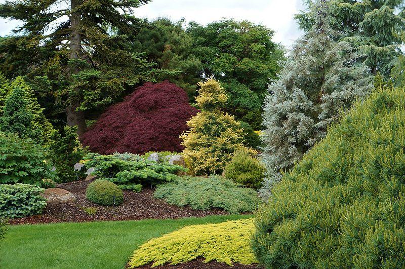 Juniperus horizontalis 'Golden Carpet', with Pinus, Cupressus arizonica 'Blue Ice', Acer