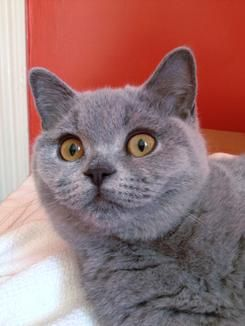 British Shorthair Kittens British Shorthair For Sale British