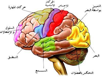 مركز التحكم في الدماغ المسؤول عن عمليات التفكير و اتخاذ القرارات و هو اهم جزء في الدماغ Bowser Physiology Character