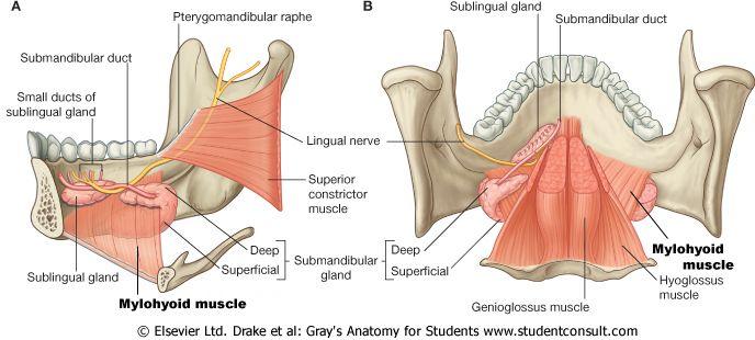 Anatomy of the submandibular and sublingual glands   parotid ...