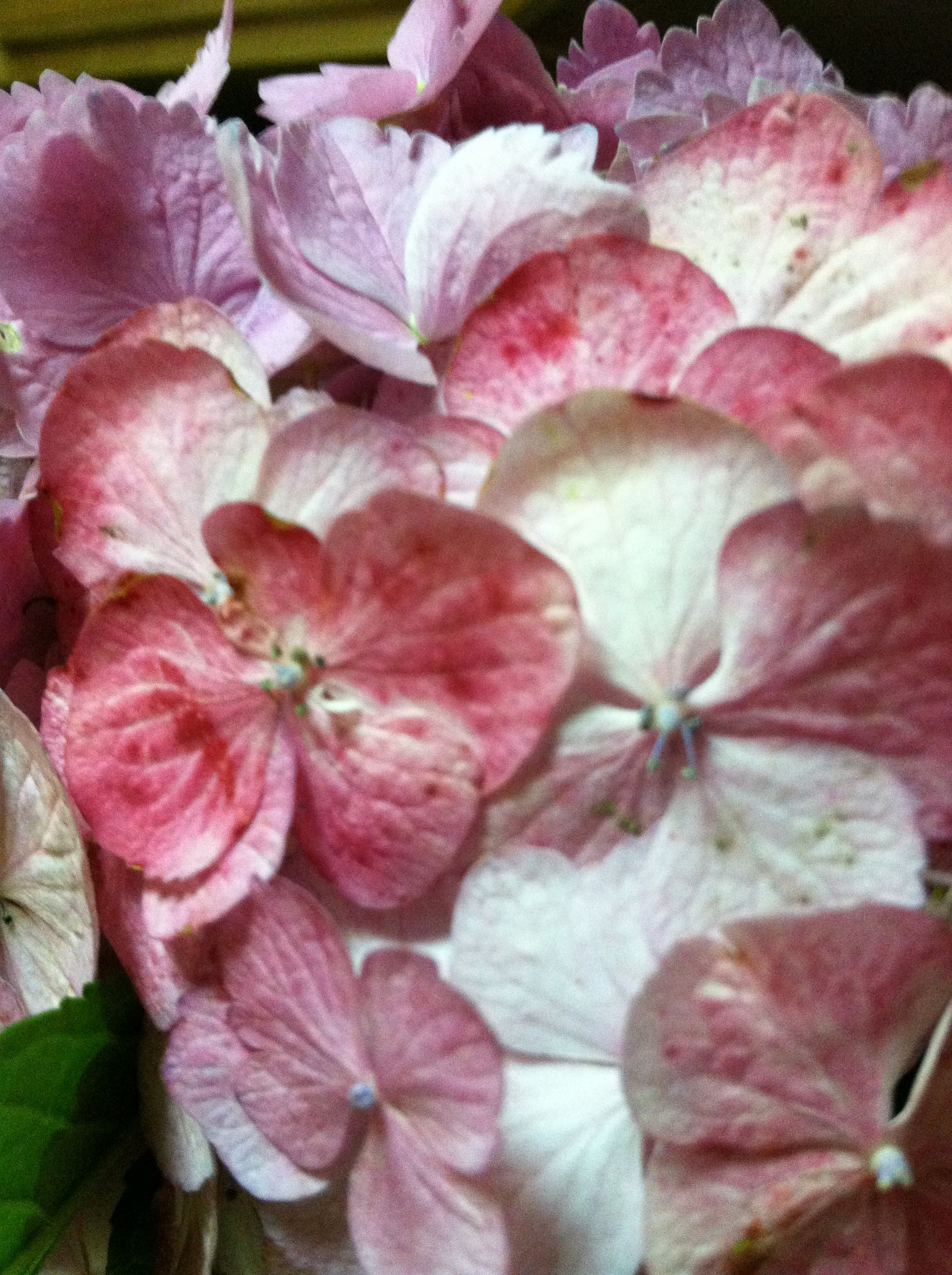 Hydrangea close up - love the individual petals - perfection!