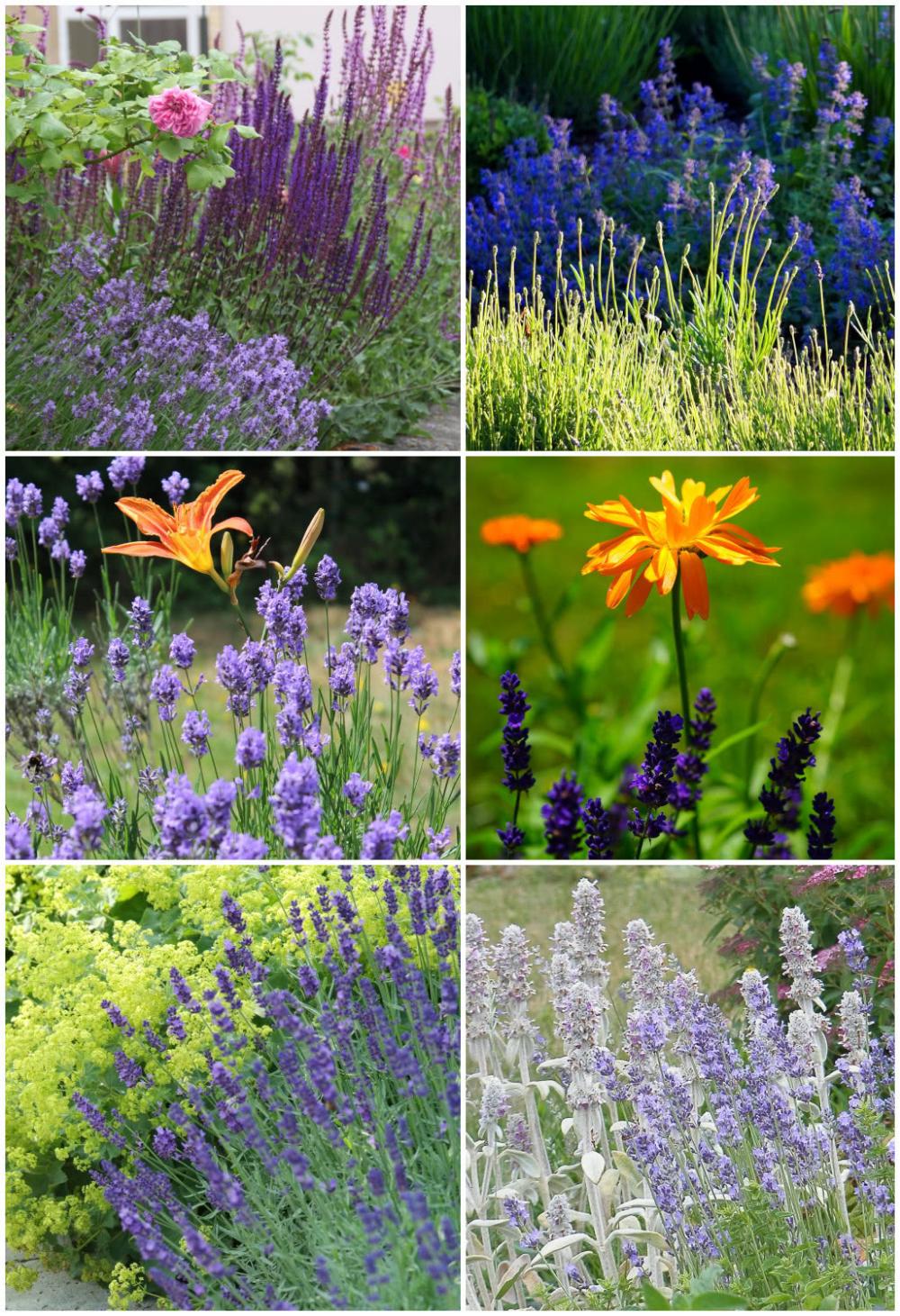 Lawenda Z Roslinami Sezonowymi Plants Garden