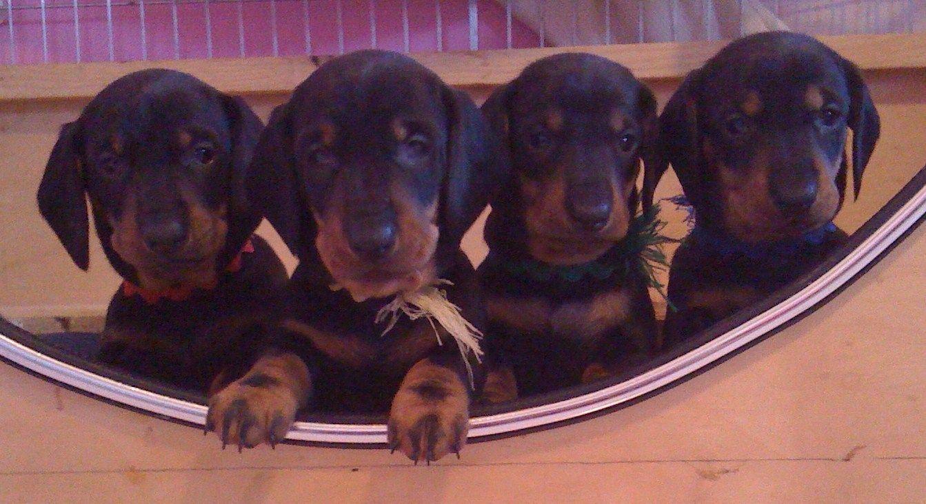 Nothing But Cuteness Dachshund Puppies Puppies Dachshund