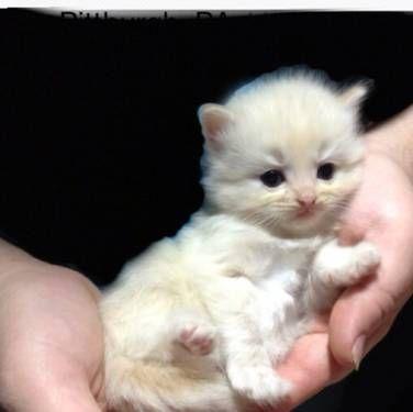 Tica Ragdoll Kittens Ragdoll Kitten Kittens Kittens And Puppies