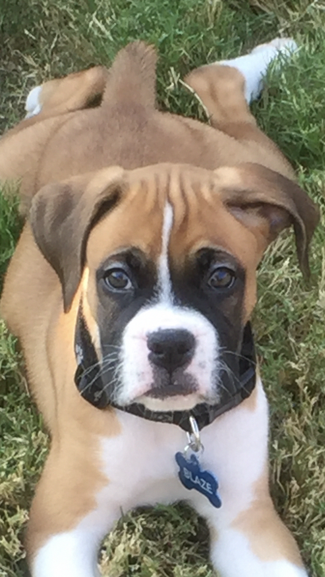 Awesome Boxer Puppies Information Is Available On Our Internet Site Check It Out And You Will Not Be Sorry You Boxer Dogs Boxer Puppies Boxer Dogs Training
