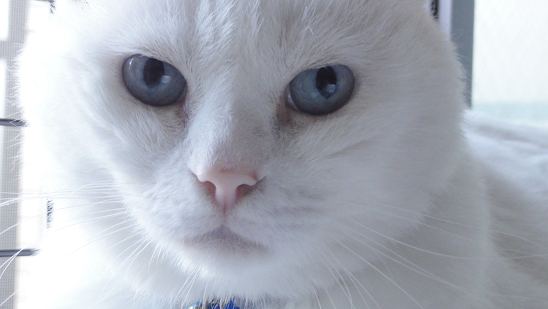 White Cat With Blue Eyes Cat With Blue Eyes White Cats White Cat