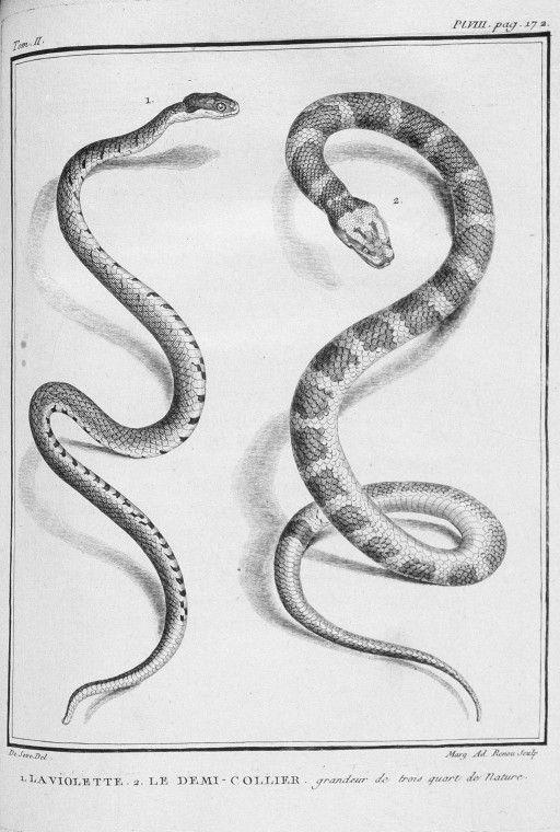 Gravures de serpents gravure de serpents violette et demi collier gravures illustrations - Dessin de vipere ...