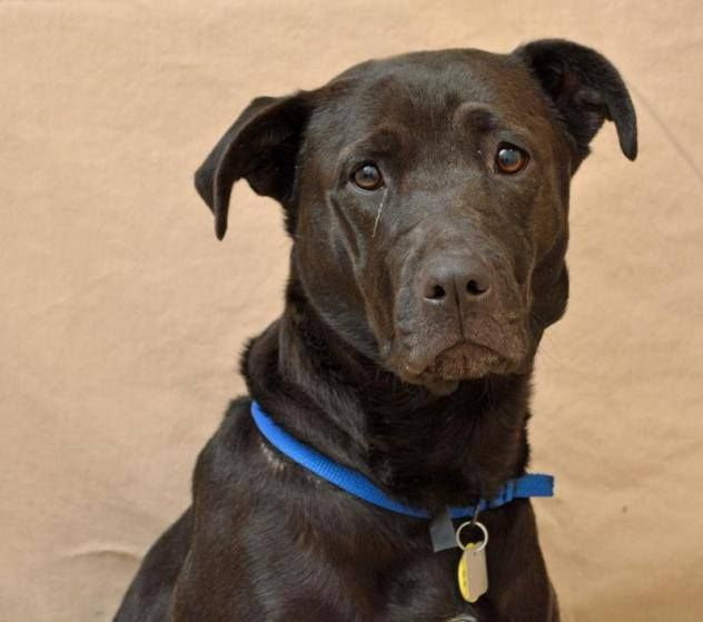 Anna Belle Labrador Retriever Mix Animal Friends Humane Society Hamilton Ohio Vw For More Infor Labrador Retriever Labrador Retriever Mix Animals Friends