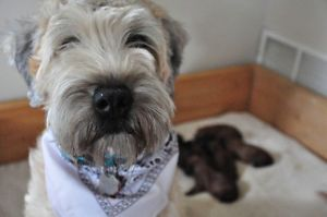 Akc Registered Soft Coated Wheaten Terrier Puppies Penticton