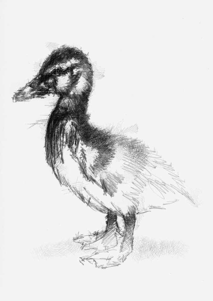 Artist Sean Briggs producing a sketch a day Duckling #art #drawing #duckling #http://etsy.me/1rARc0J