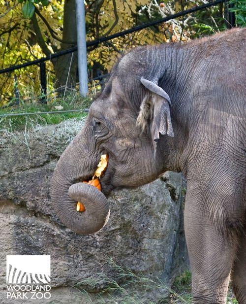 Our Elephants Love Pumpkin Snacks Do You Woodland Park Zoo Zoo Elephant