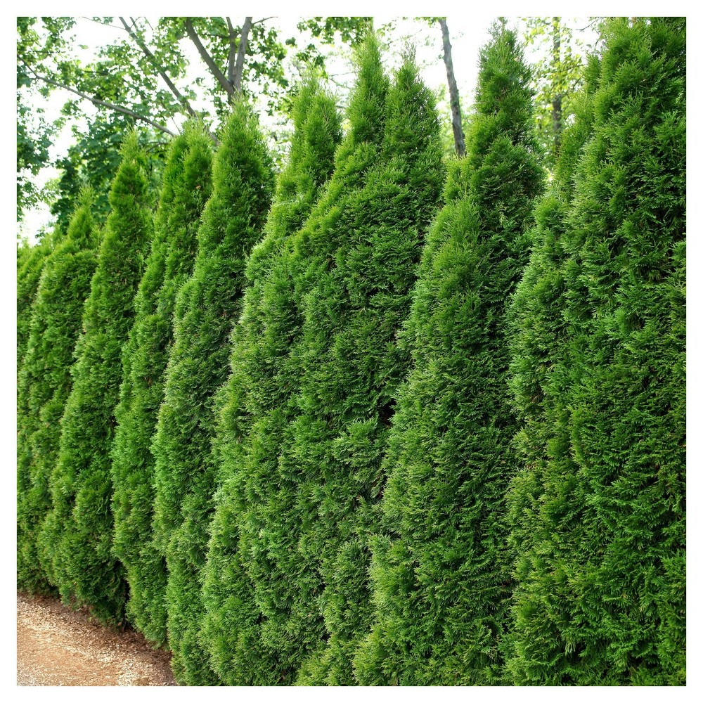 Arborvitae 'Emerald Green' 1pc - National Plant Network U.S.D.A Hardiness Zone 4-9 - 2.25 Gallon