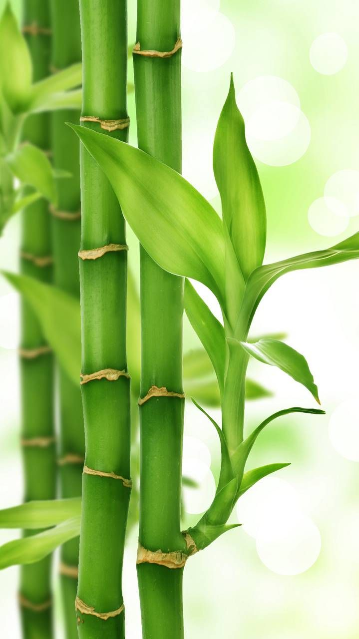 Bamboo wallpaper by QueenCleopatra - e4 - Free on ZEDGE™
