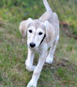 a grizzle saluki puppy