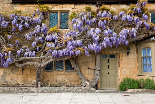 Wisteria OMG i think I just died and went to wisteria heaven!