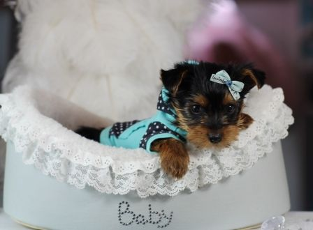 Teacup Yorkie Puppies For Sale At Teacup Puppies Store Teacup Puppies Yorkie Puppy For Sale Yorkie
