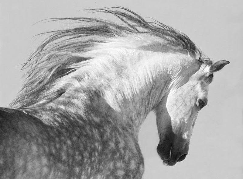 Le pure race espagnole la t te d un pure race espagnol 2 me pinterest cheval andalou - Cheval a imprimer noir et blanc ...