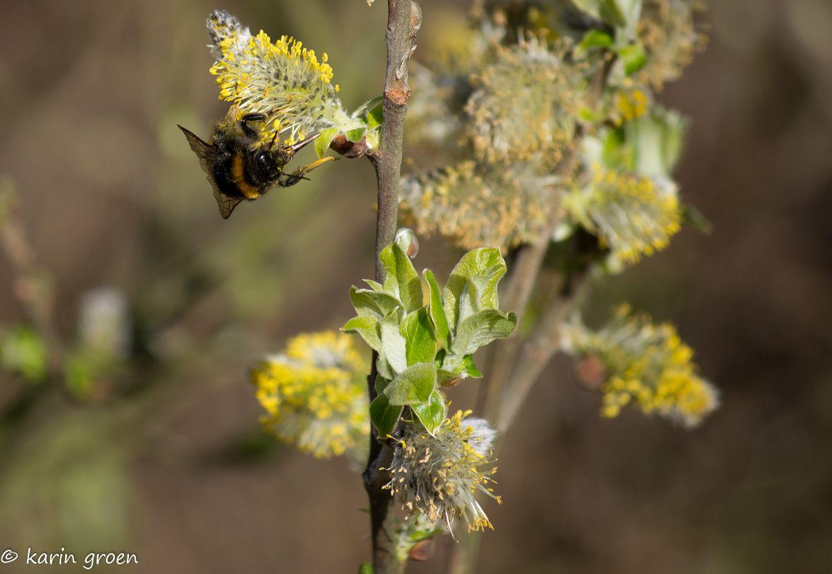 De lente is duidelijk in aantocht! #hommel #bij #fotografie