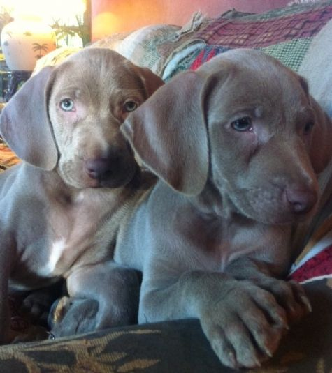 Akc Dogs Akc Weimaraner Puppies 300 Yeah Right Maybe Triple