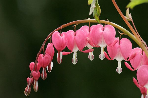 More exquisite Bleeding Heat flowers! Don't they just look like something from a fairy tale!