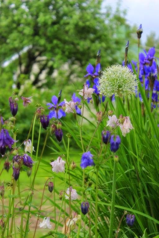 Aquilegia, Allium giganteum &  Iris sibirica