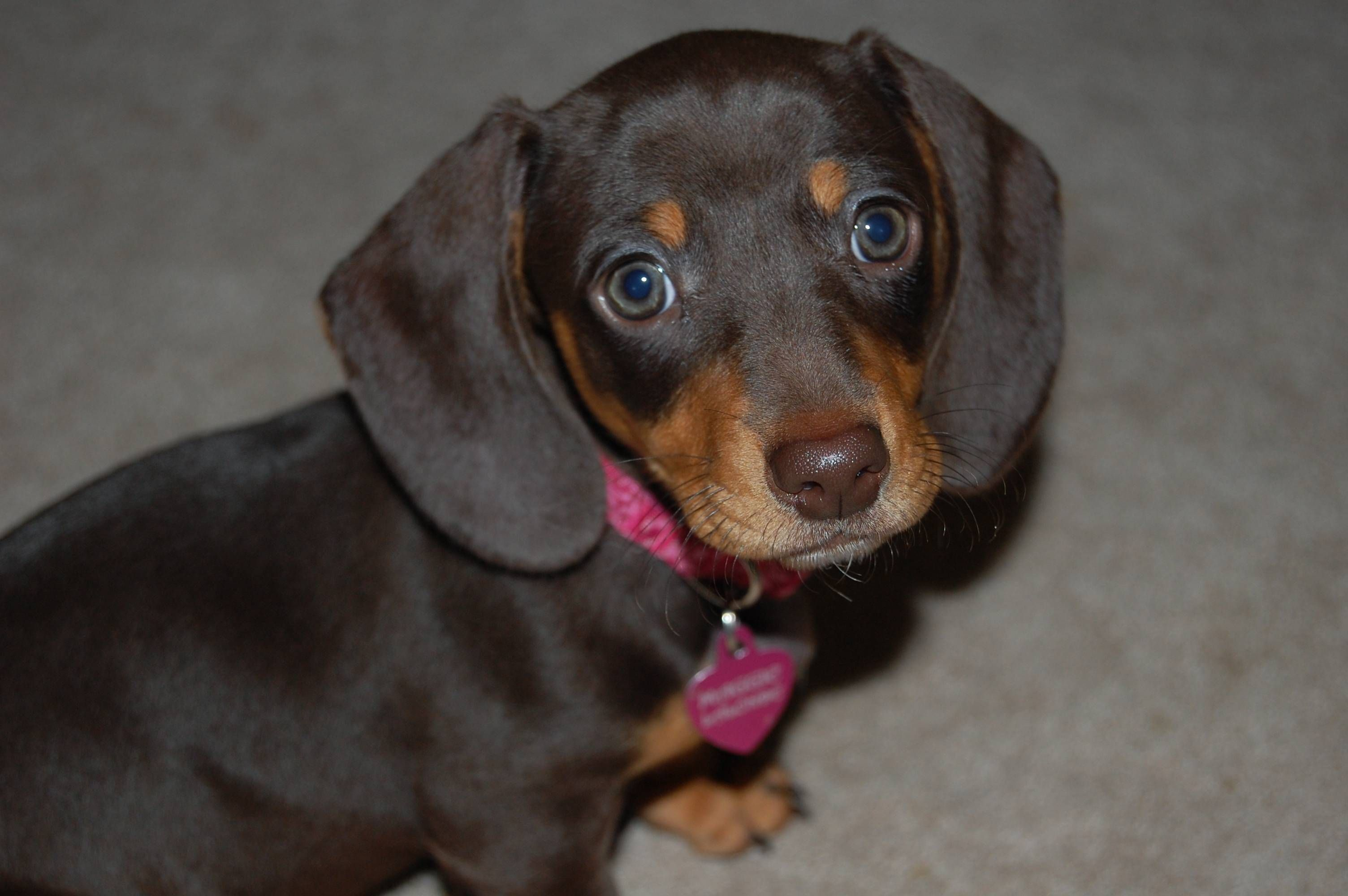 I Present To You Maggie Mini Dachshund Demon Dog I Love Dogs