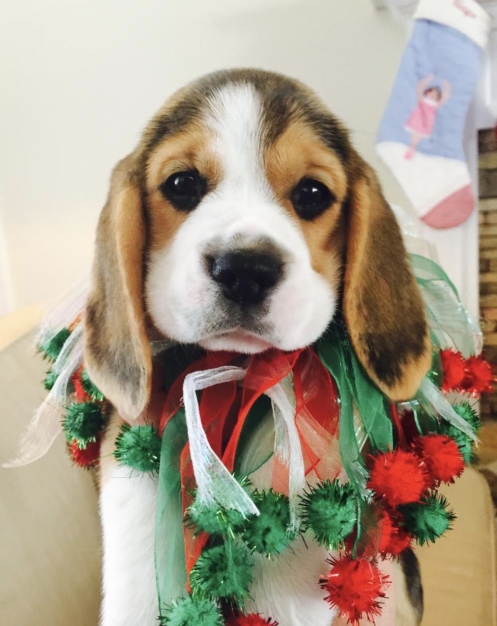 Merry Christmas Bauerbeagles Beagle Beagle Puppy Beagles