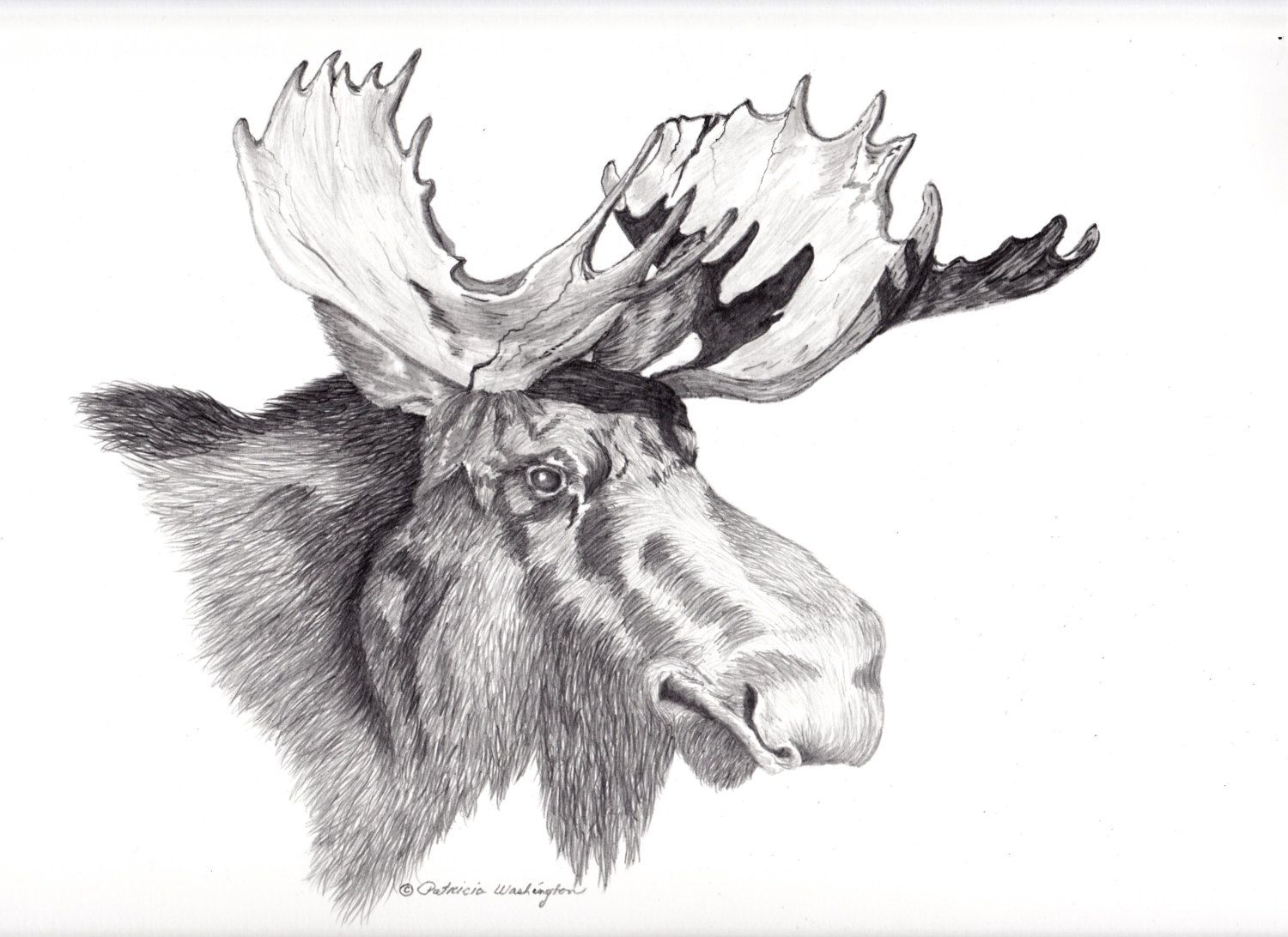 majestic bull moose head drawing showing the by singing7wolfsart