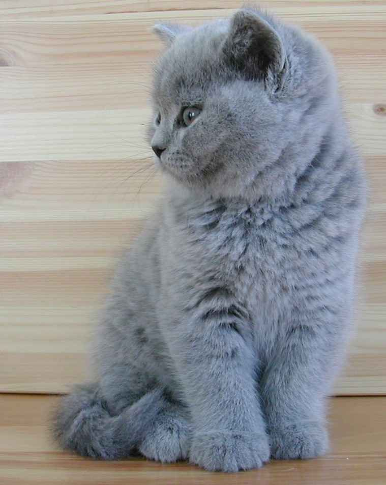 British Shorthairs Come In Many Colors And Patterns For Many