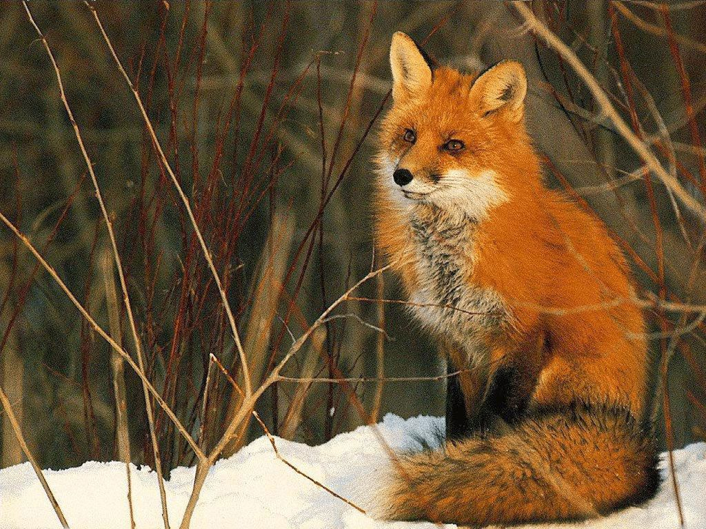 Sitting Fox Pet Fox Animal Spirit Guide Spirit Animal