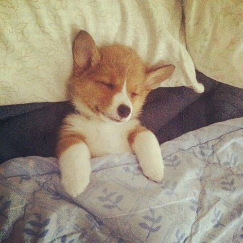 Sleeping corgi pup