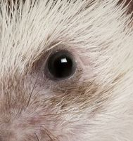 618809-african-hedgehog