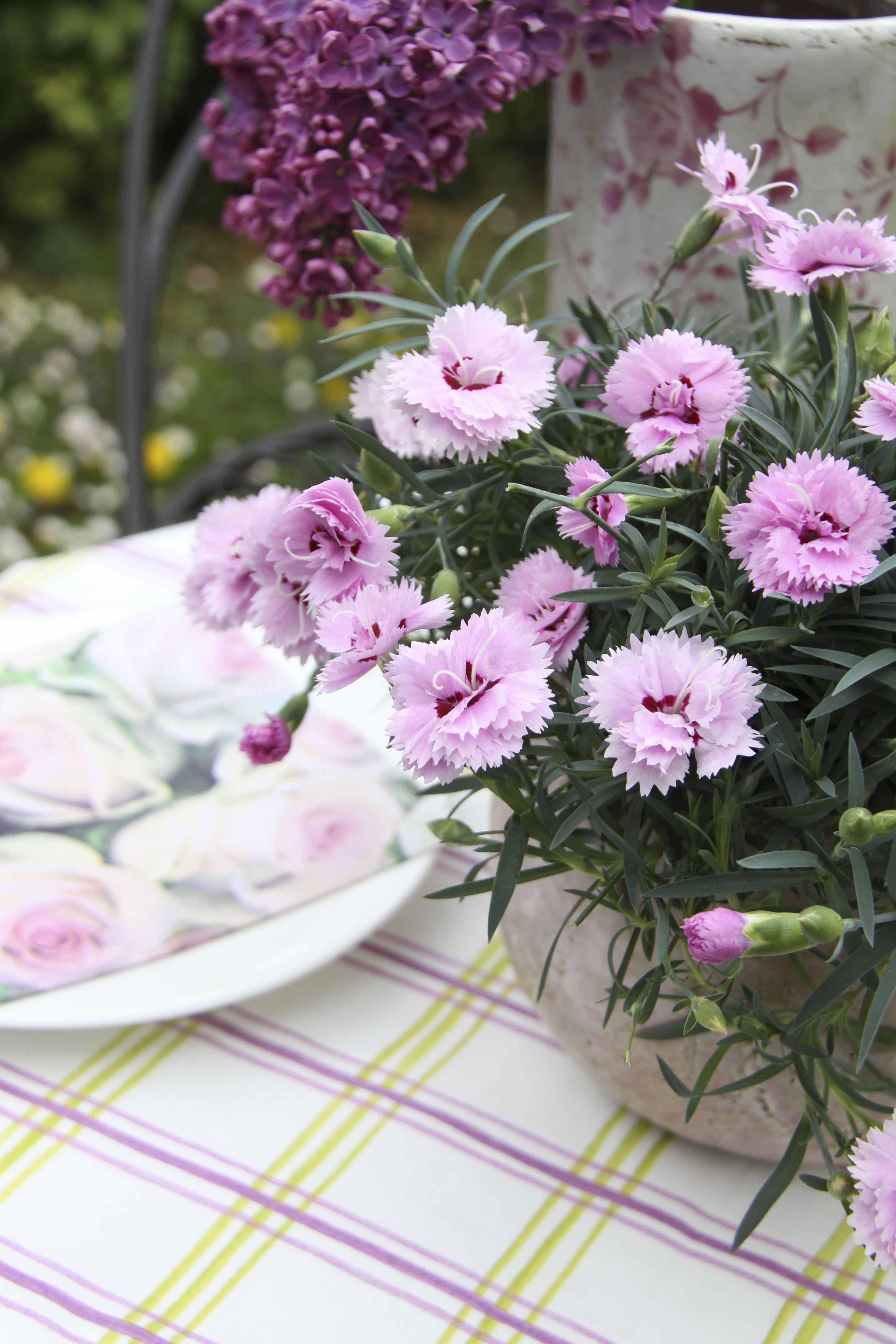 Perfekte Tischdeko Unsere Nelken Obi Gartennelken Fruhlingsblume