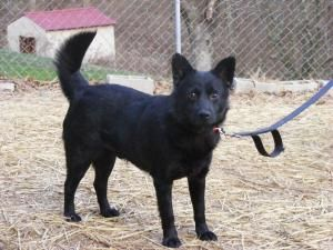 Adopt Barnaby On Petfinder Schipperke Dog Dog Sounds Animal Rescue