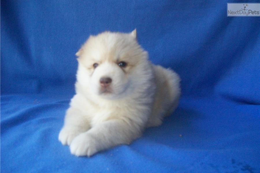 Meet ya3 a cute siberian husky puppy for sale for 595