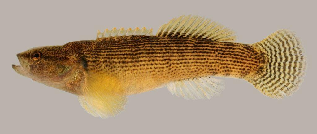 Variegate darter (Etheostoma variatum), portrait of a male ...