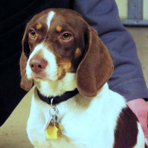 Adopt Brownie On Animals Are Encreadable Beagle Rescue
