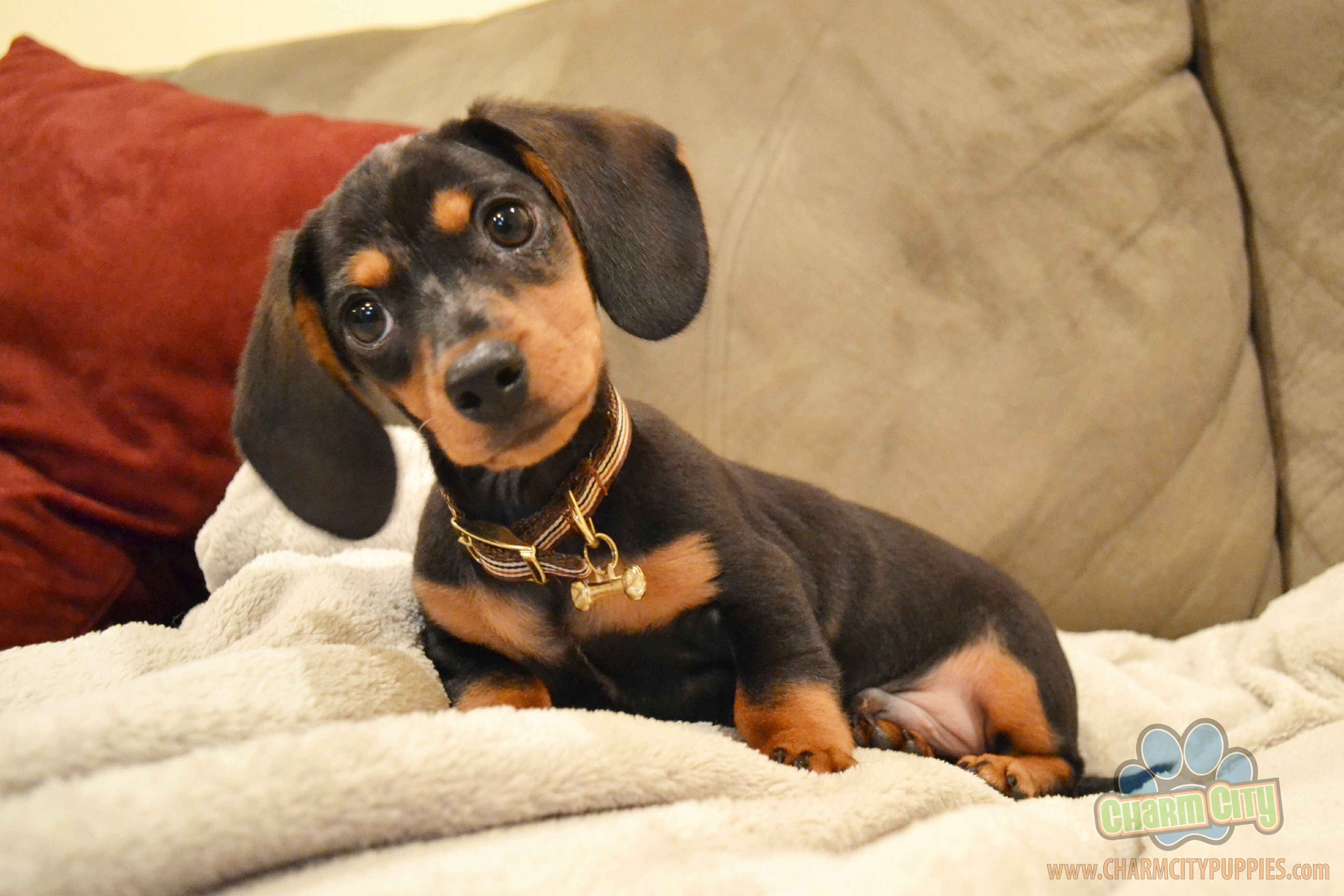 Adorable Dachshund Puppy Can T Wait To Get My Little Oscar Soon