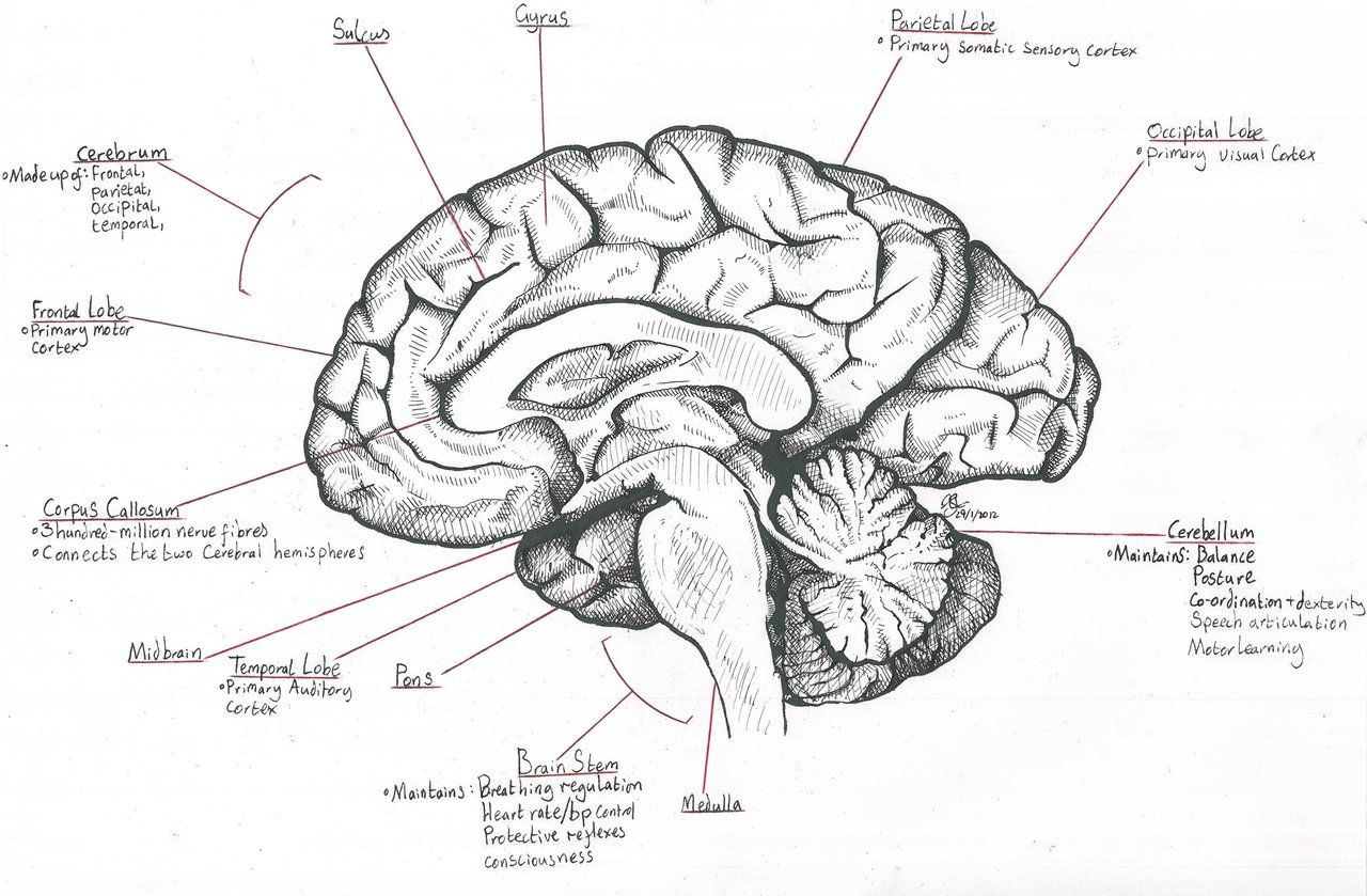 Midsagittal Section Of The Human Brain - Anatomy Body List | Brain ...