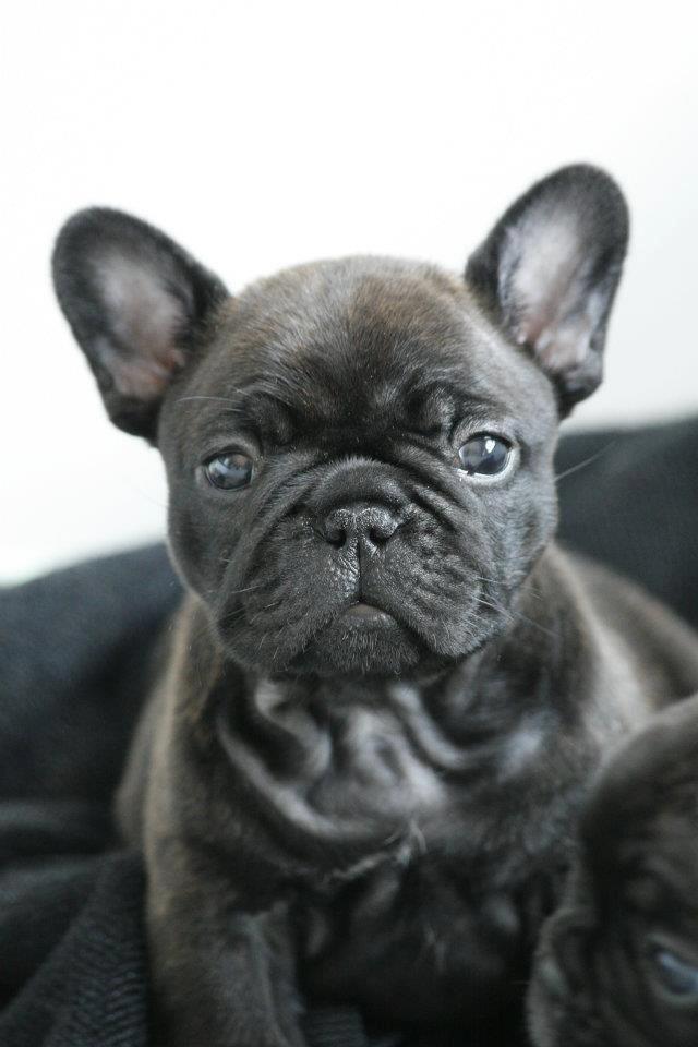 French Bulldog Puppy Perros Mascotas Perros Lindos