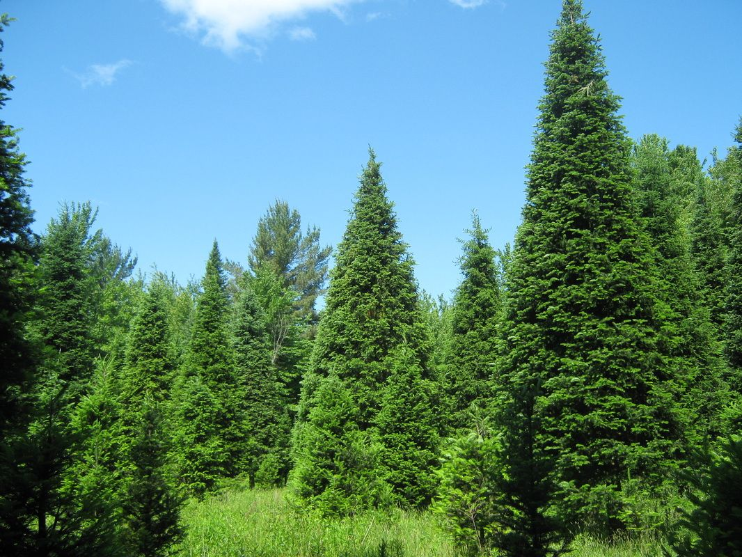 The Five Most Popular Christmas Trees Series 3 Balsam