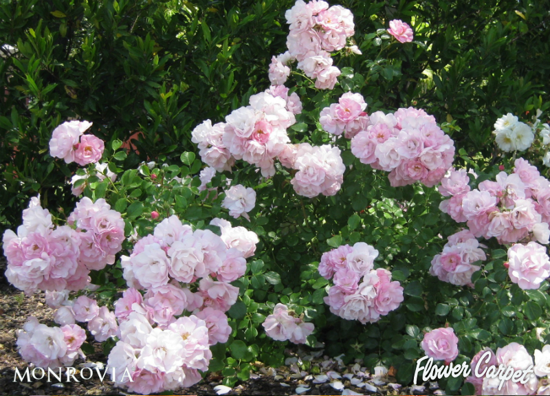 Flower Carpet Appleblossom Easy Care Groundcover Rose With Glossy Green Foliage And Pastel Pink Blooms Arranged In Large Cl Ground Cover Roses Flowers Plants