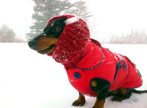 Winter Dachshund Jacket Dachshund Love Cute Dogs Dachshund