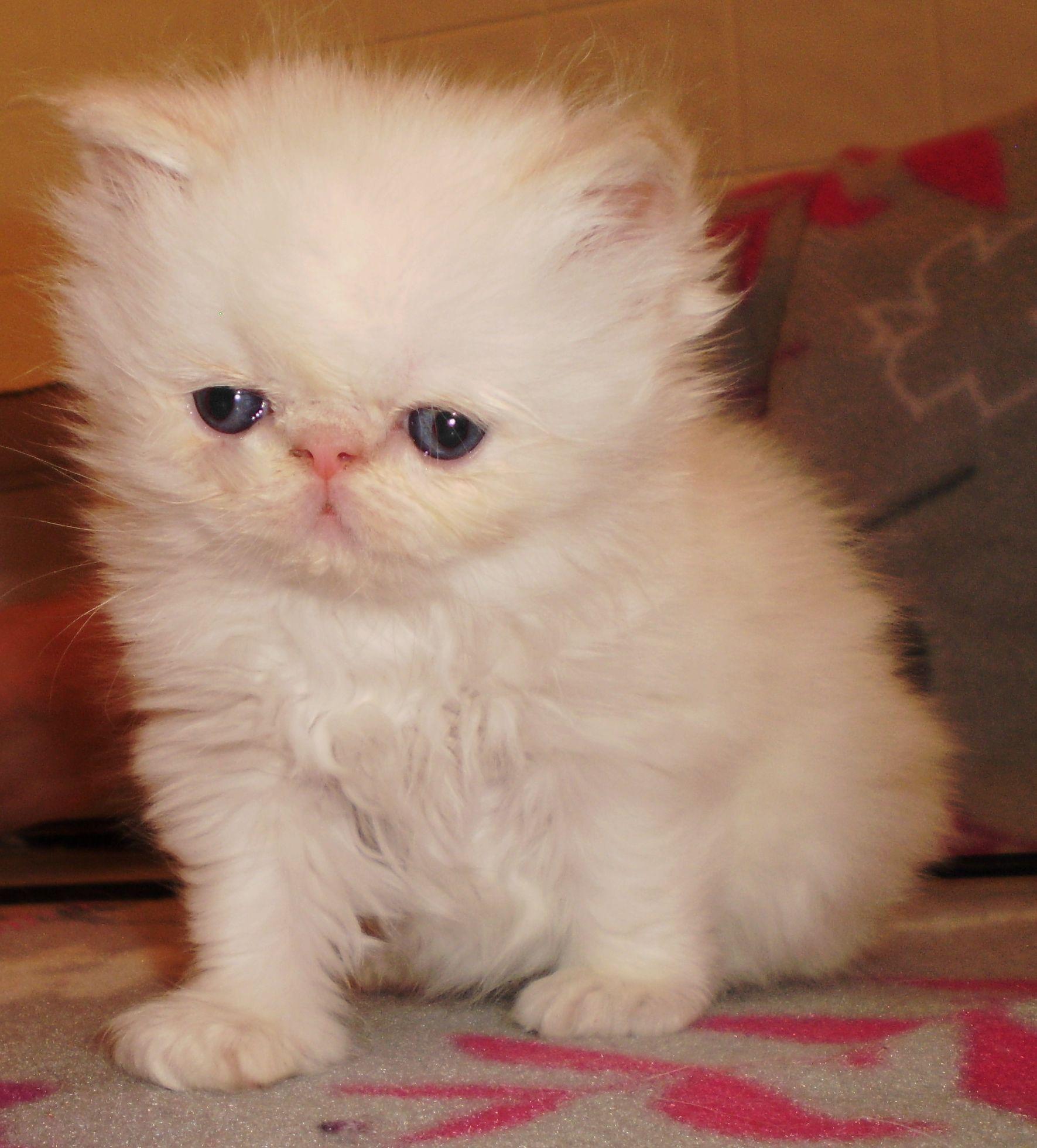 Balinese Munchkin Cat Himalayan Persian Kittens Adults For Sale Windysweptt Munchkincat Cat Lovers Persian Kittens Cats