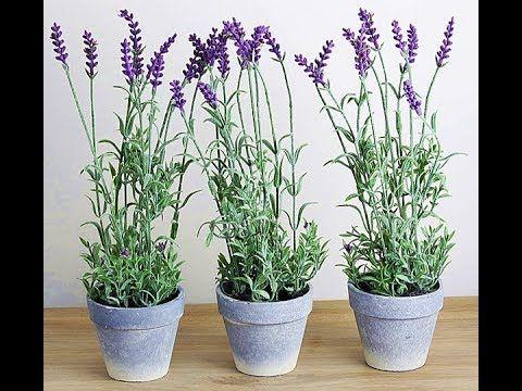 Plantas f ceis de cuidar lavanda jardinagem - Planta lavanda cuidados ...