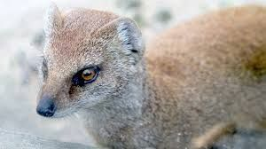 La Belette d'Europe (Mustela nivalis), aussi connue sous les noms de Belette pygmée1, Petite belette, ou tout simplement Belette, est le plus petit mammifère de la famille des mustélidés et constitue également le plus petit mammifère carnivore d'Europe avec une taille d'environ 20 cm pour moins d'une centaine de grammes seulement.