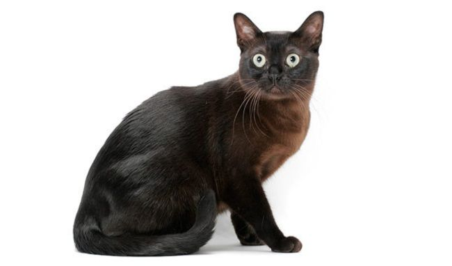 burmese cat black Cat breeds, Rare cat breeds, Cats, kittens