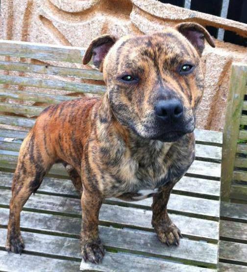Stripey Staffie Pitbull Terrier Terrier Dogs English Staffordshire Bull Terrier