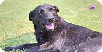 BROOKE...Pittsburgh, PA - Labrador Retriever Mix. Meet Brooke, a dog for adoption. http://www.adoptapet.com/pet/11957860-pittsburgh-pennsylvania-labrador-retriever-mix