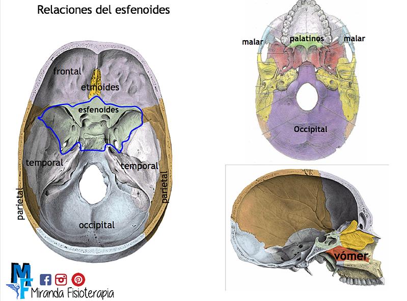 HUESOS: Cráneo   Miranda Fisioterapia   Cráneo   Pinterest   Huesos ...